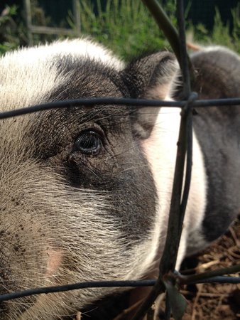 Tri State Zoological Park : Micro pig