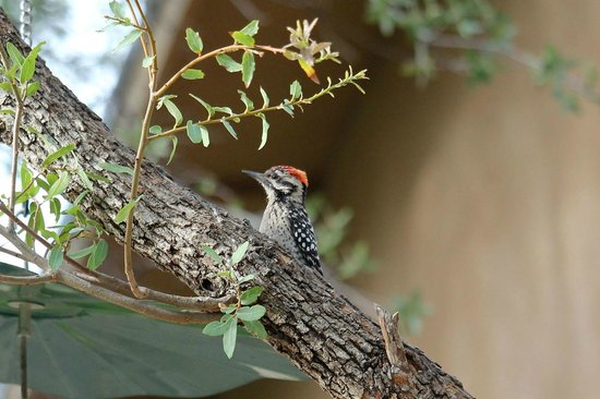 Ash Canyon Bed & Breakfast: Ladder-backed Woodpecker in the garden