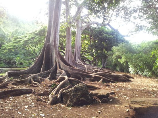 Jurassic Park trees at Allerton Garden Picture of Allerton
