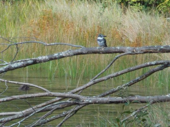 New Germany State Park: Kingfisher
