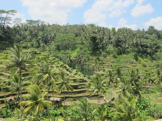 Paddy field picture of tegalalang rice terrace ubud for Tegalalang rice terrace ubud