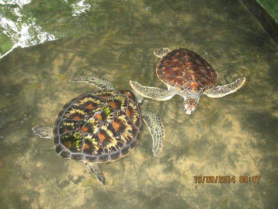 Bentota, Sri Lanka: 2 Schildkröten im Becken (klein)