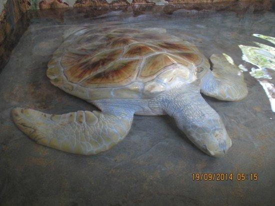 Bentota, Sri Lanka: Albino Schildkröte