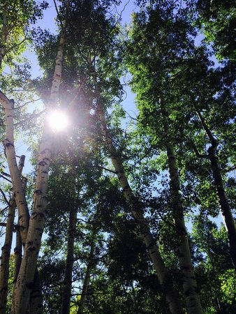 Aspen Meadows Resort: Aspens galore