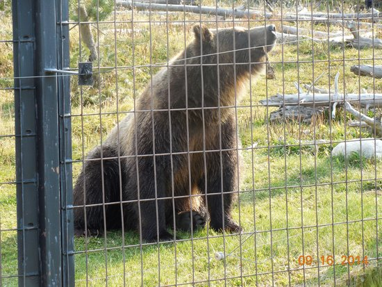 WorldMark West Yellowstone : Grizzley bear at the Discovery center