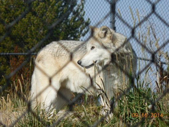 WorldMark West Yellowstone: Wolf at the Discovery center