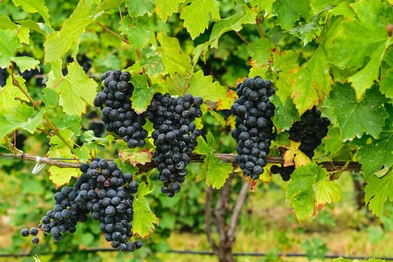 Sheldrake Point Winery: Pre-Harvest, Grapes on the Vine