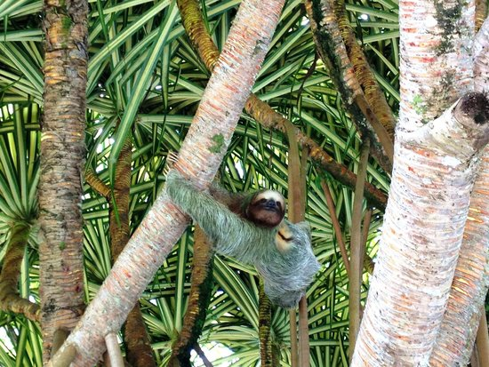Arenal Paraiso Hotel Resort & Spa: Nature - Sloth