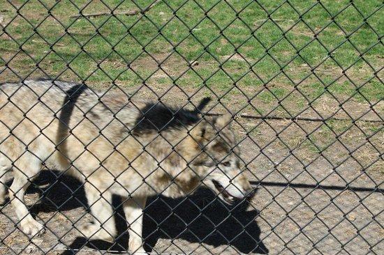ZooAmerica North American Wildlife Park: Wolves