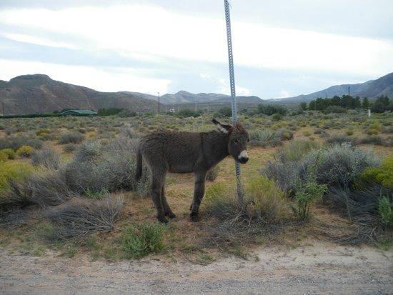 Bonnie Springs Old Nevada : burros bonnie springs