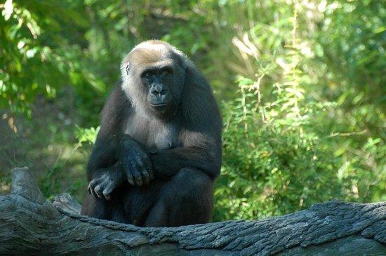 Congo Gorilla Forest Picture Of Bronx Zoo Bronx Tripadvisor