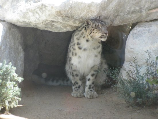 Big Bear Alpine Zoo at Moonridge: Himalayan snow leopard-1