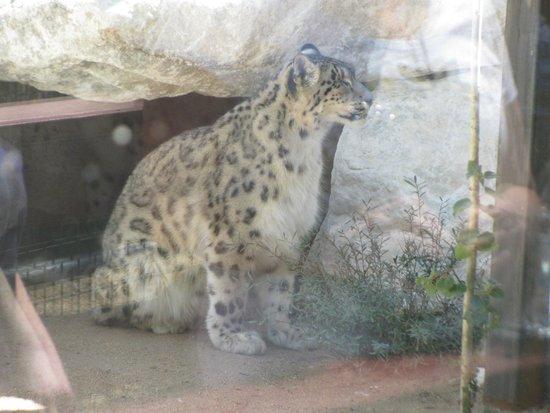 Big Bear Alpine Zoo at Moonridge: Himalayan snow leopard-2