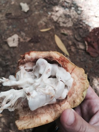 Caribeans Coffee & Chocolate : Raw cacao fruit- very delicious!