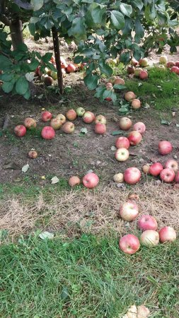 Crane's Pie Pantry : Apples