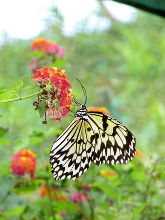 Siquijor Butterfly Sanctuary : easy to photograph....