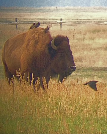 BrushBuck Wildlife Tours: Bison with birds
