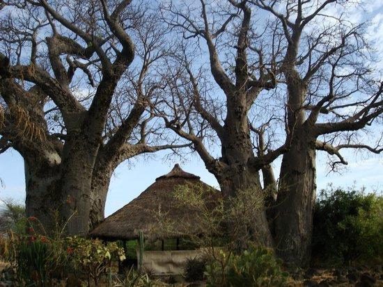 Ol Mesera Tented Camp: Baobobs
