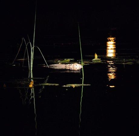 Wild Sweden - wildlife tours: Swimming beaver