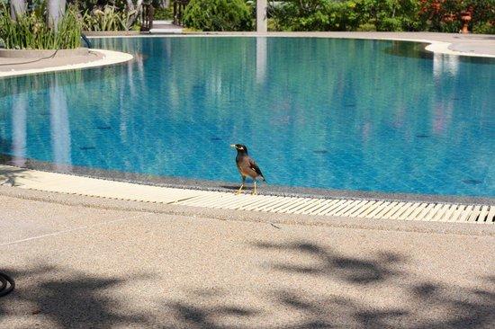 Longbay Resort : Un martin triste se rafraichit à la piscine