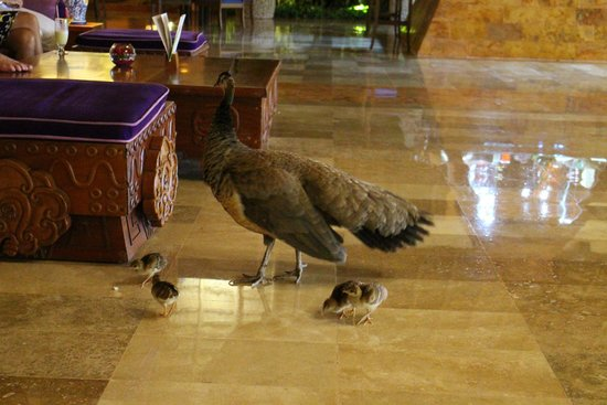 Iberostar Tucan Hotel: Peacocks in Lobby