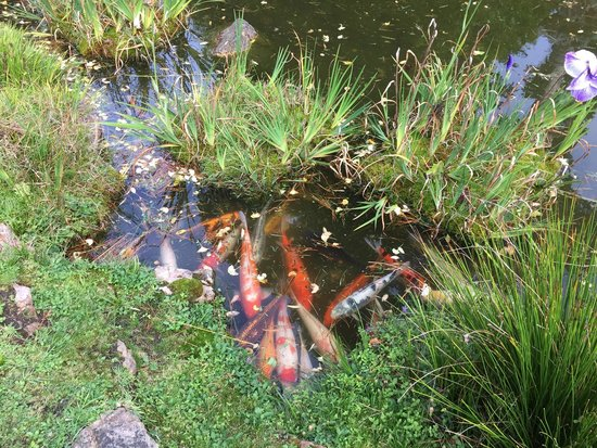Fish In Japanese Tea Garden Picture Of Japanese Tea Gardens San Antonio Tripadvisor
