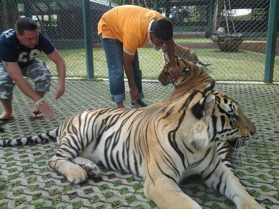 Bangpling Nature : Tiger in Phuket