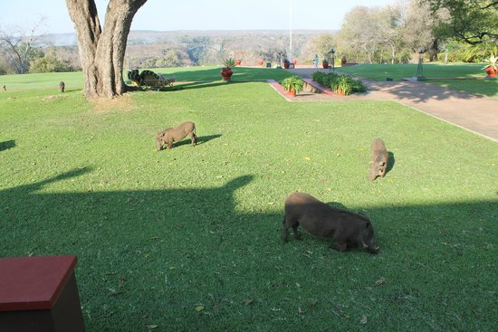Stanley's Terrace: Some of the living lawnmowers at the Victoria Falls Hotel