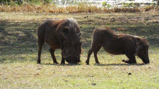 Bonamanzi Game Reserve: Warthog sharing our sundowners!