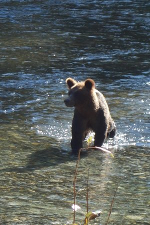 Eagle Eye Adventures: Momma Grizzly hunting for salmon