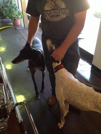 Greyhound Hall of Fame: Door greeters, Gary and Jade, retired racing greyhounds.