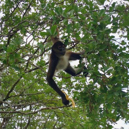 Cayo Espanto: A friendly howler monkey greeted us en route to the Mayan ruins a Lamanai.