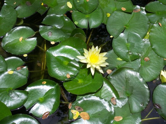 The Inn on Biltmore Estate: Lilly pads in the garden