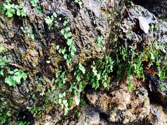 Grand Promenade : maiden's hair fern on rock at spring on row