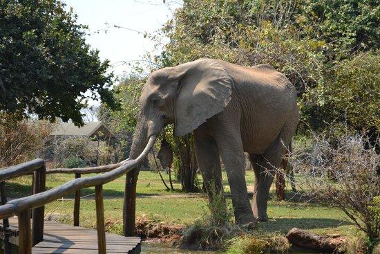 Lower Zambezi National Park: Elephant visiting lodge