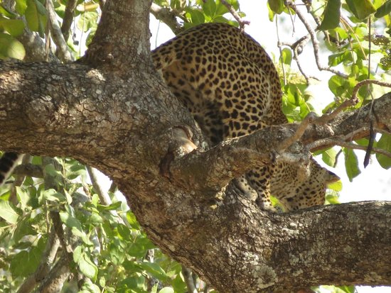 Mushroom Lodge: Leopard waiting to pounce