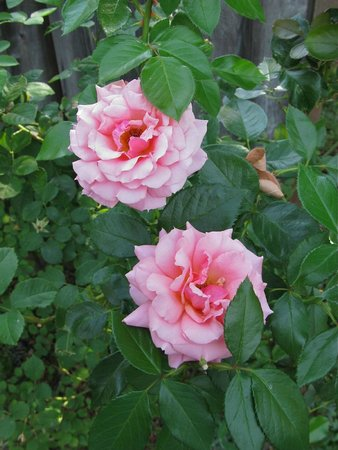 Pelton Guest House: roses adorn the picket fence surrounding the property