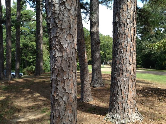 Wall Doxey State Park: More pines.