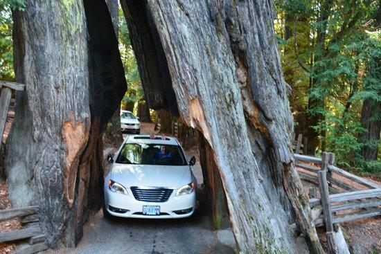 Shrine Drive-Through Tree