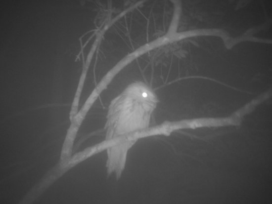 Vision Walks - Eco Tours: Owl - tawny frogmouth