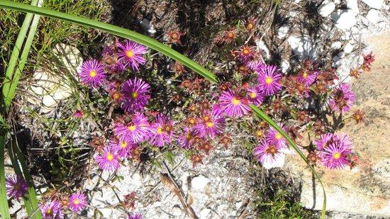 Hermanus, Sudáfrica: La flore très riche