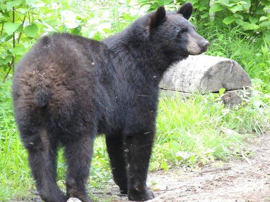 Aux Berges du St-Maurice : Observation des ours en milieu sauvage