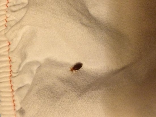 Hampton Inn Jacksonville East Regency Square: Bed Bug