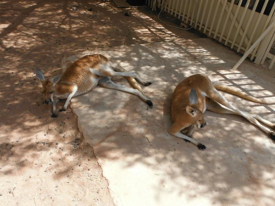 Josephine's Gallery & Kangaroo Orphanage: just lazing around very content