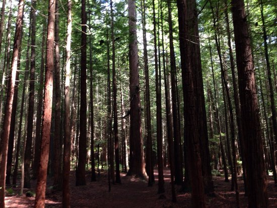 Redwoods, Whakarewarewa Forest: The Redwoods