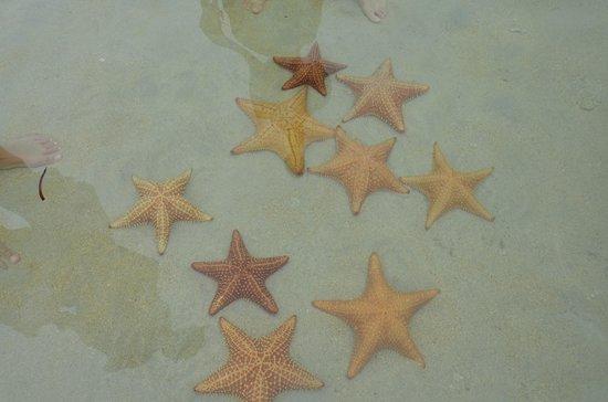 Punta Caracol Acqua Lodge: estrellas de mar en playa cercana