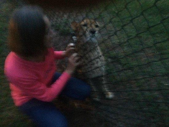 White Oak Conservation Center : Cheetah massage