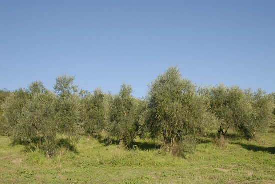 Rufina, Ιταλία: oilve trees