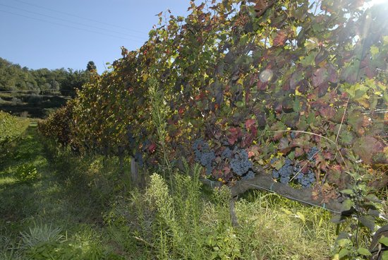 Rufina, Italia: the grape growt