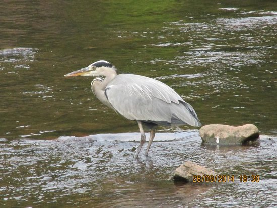 Castle of Brecon: A visitor on the river below the hotel gardens.